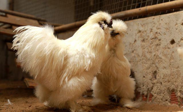 Gà lông thỏ (tên quốc tế là gà Silkie) gây chú ý khi sở hữu bộ lông xù kỳ lạ và tất cả đều là lông tơ chứ không phải lông vũ. Mỗi cặp gà lông thỏ trưởng thành được chào bán với giá 20 triệu đồng, đối với gà con được bán với giá 600 nghìn đồng/con