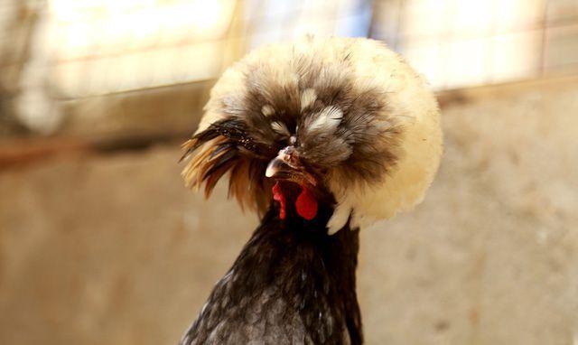 Đây là giống gà cổ xưa nhất của người Hà Lan, vô cùng quý hiếm hiếm trên thế giới vì tất cả những điều kể trên cộng thêm từng sợi lông mọc dựng ngược thay vì mọc xuôi như các giống gà khác. Giống gà này khá hiếm và được nhiều người trong giới sinh vật cảnh và những người đam mê gà kiểng tìm mua với giá 25 triệu đồng 1 căp gà trưởng thành.